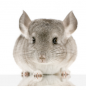 chinchilla categorie